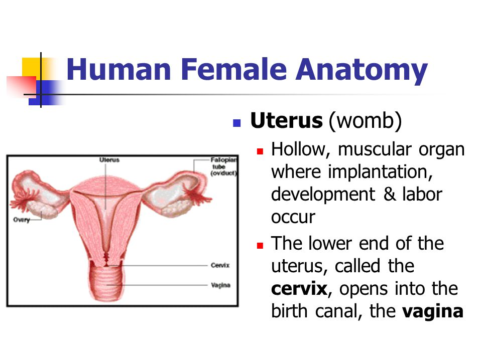 Human Female Anatomy Uterus (womb)