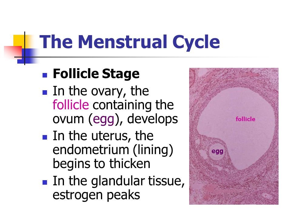 The Menstrual Cycle Follicle Stage