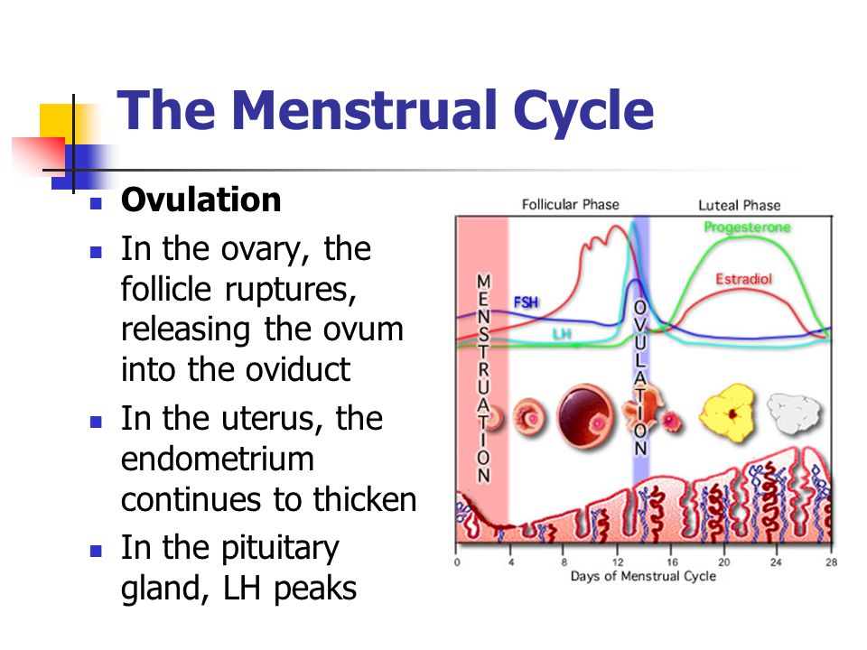 The Menstrual Cycle Ovulation