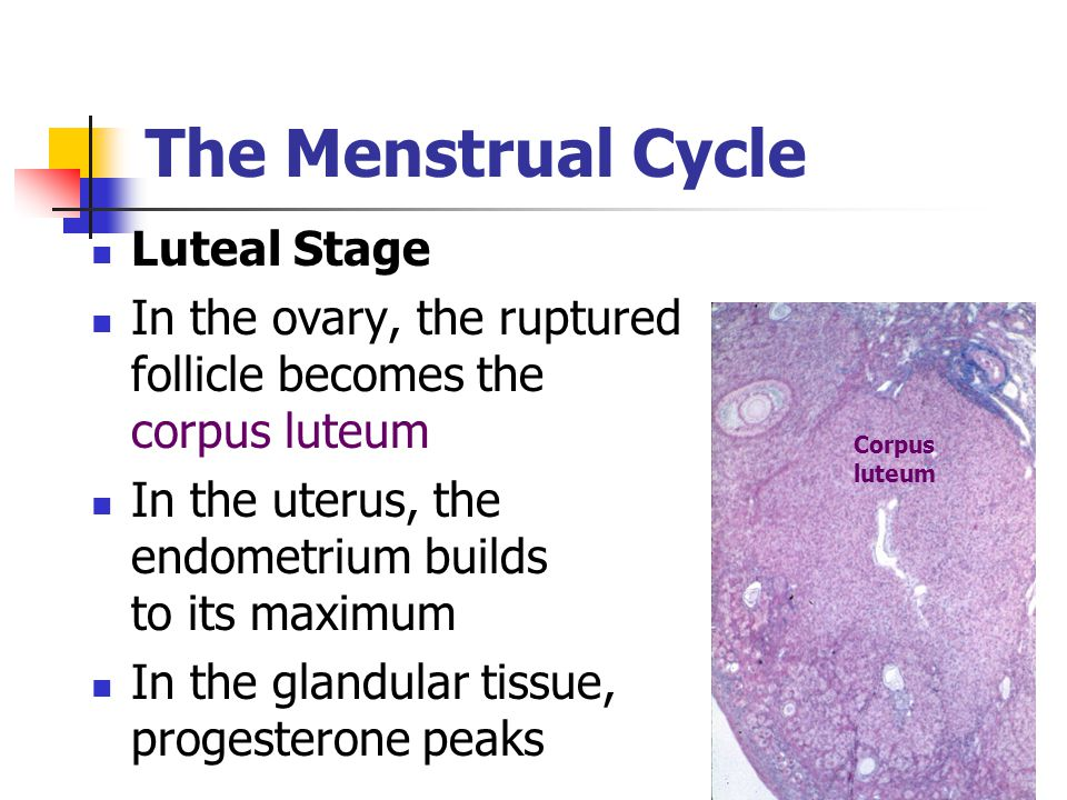 The Menstrual Cycle Luteal Stage