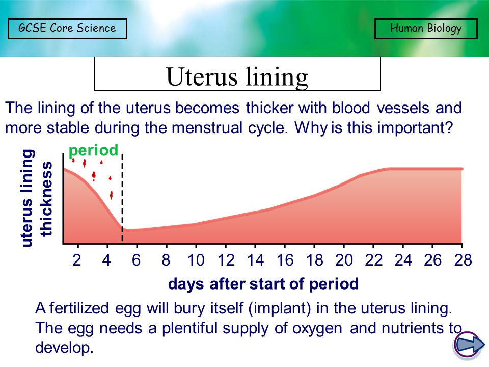 days after start of period uterus lining thickness