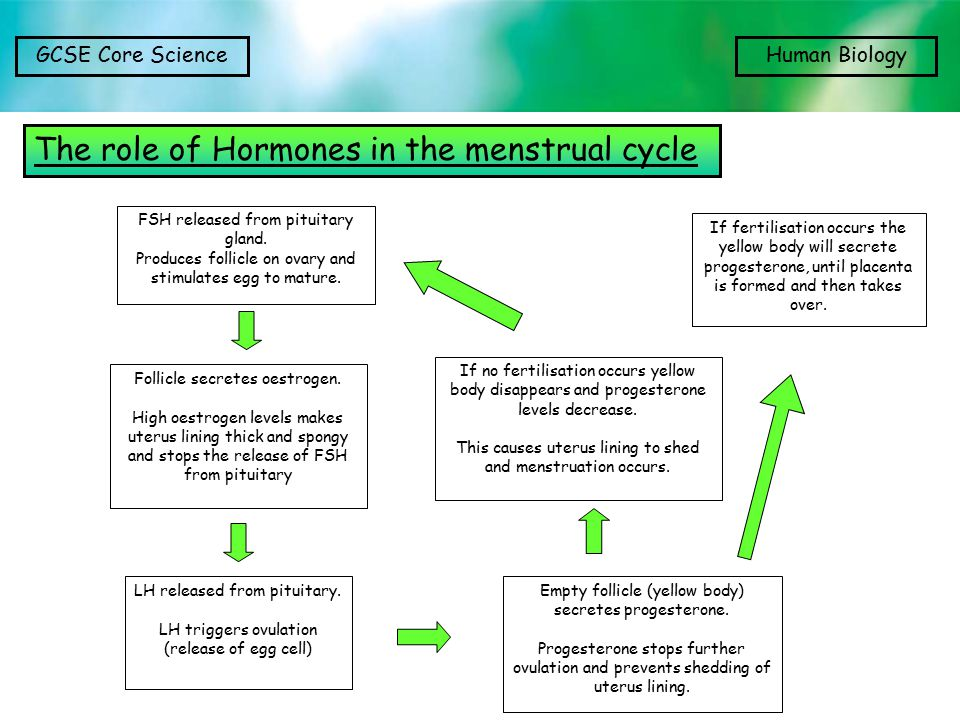 The role of Hormones in the menstrual cycle