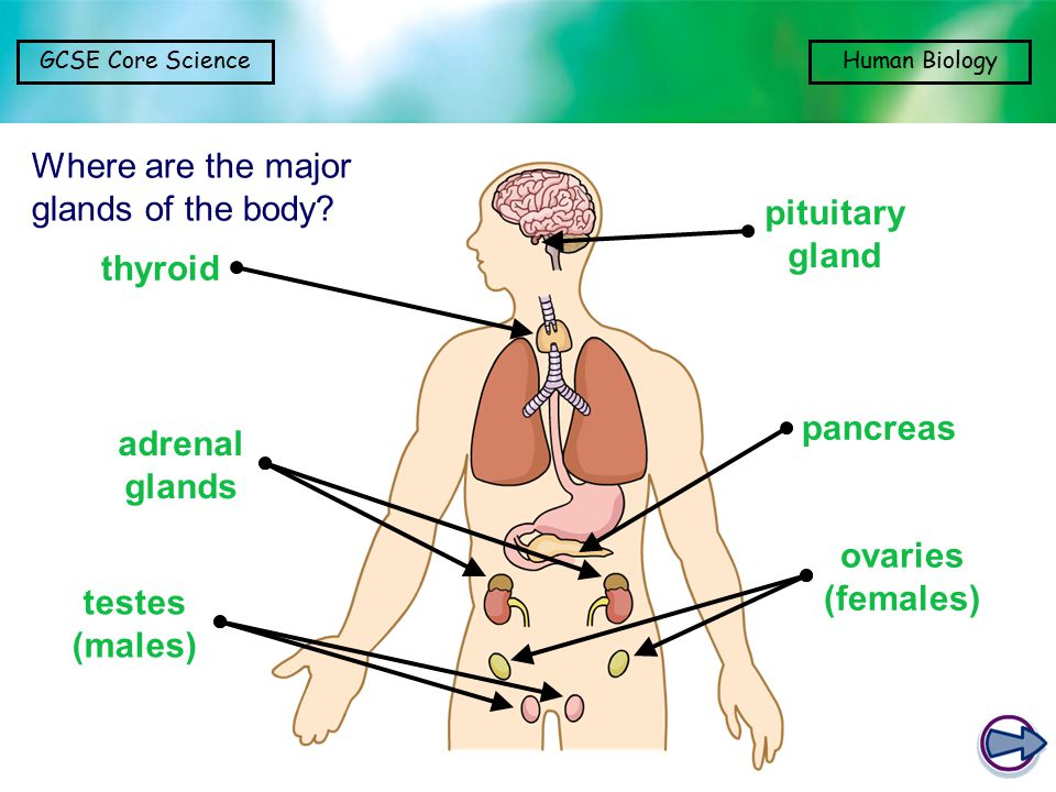 Where are the major glands of the body