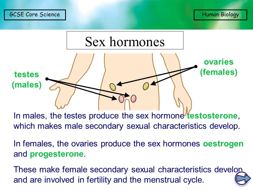 Sex hormones ovaries (females) testes (males)