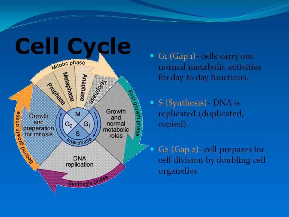 Cell Cycle G1 (Gap 1)- cells carry out normal metabolic activities for day to day functions. S (Synthesis)- DNA is replicated (duplicated, copied).