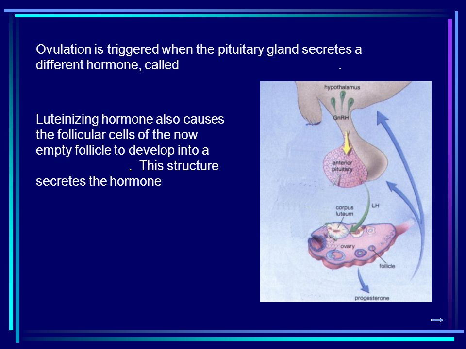Ovulation is triggered when the pituitary gland secretes a different hormone, called .