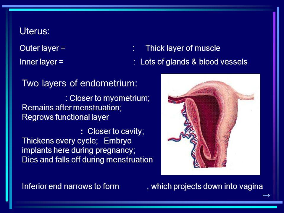 Two layers of endometrium: