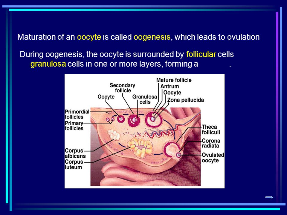 Maturation of an oocyte is called oogenesis, which leads to ovulation