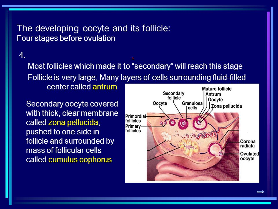 The developing oocyte and its follicle: Four stages before ovulation