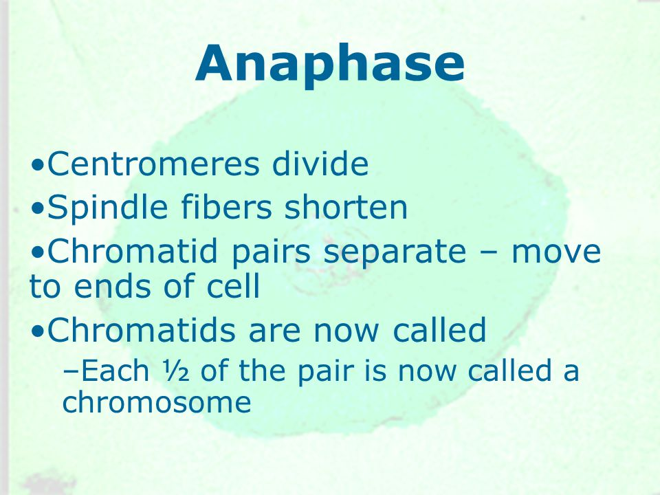 Anaphase Centromeres divide Spindle fibers shorten