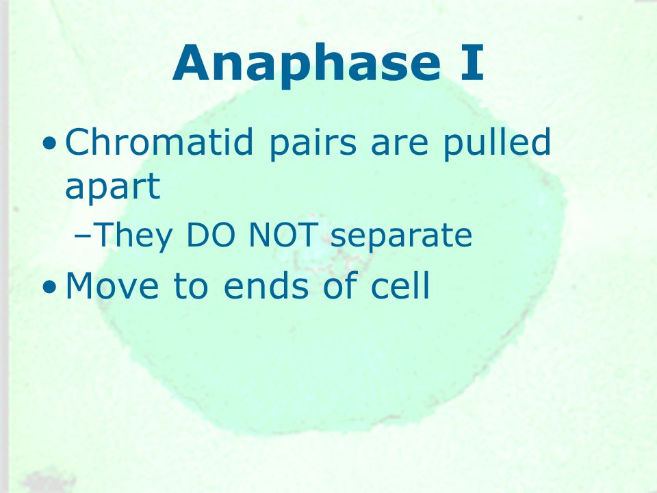 Anaphase I Chromatid pairs are pulled apart Move to ends of cell