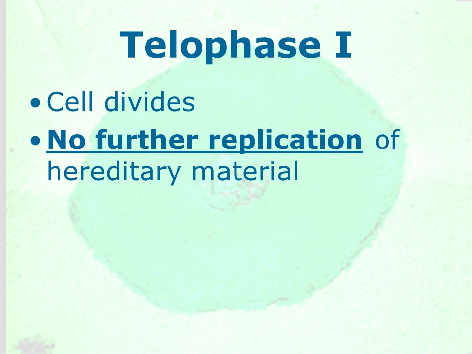 Telophase I Cell divides No further replication of hereditary material