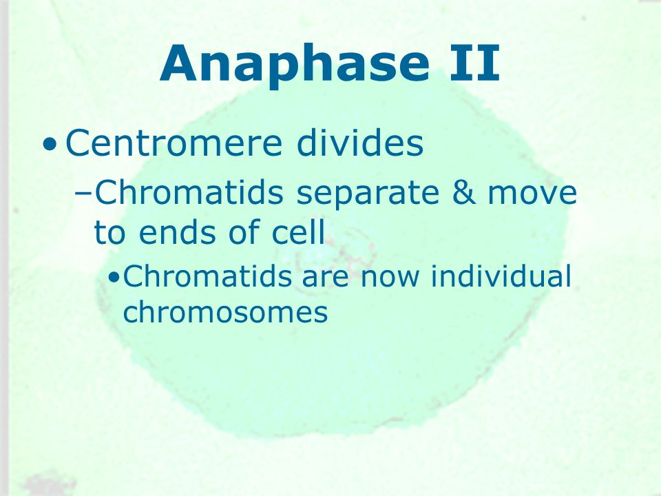 Anaphase II Centromere divides