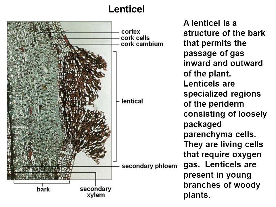 Lenticel