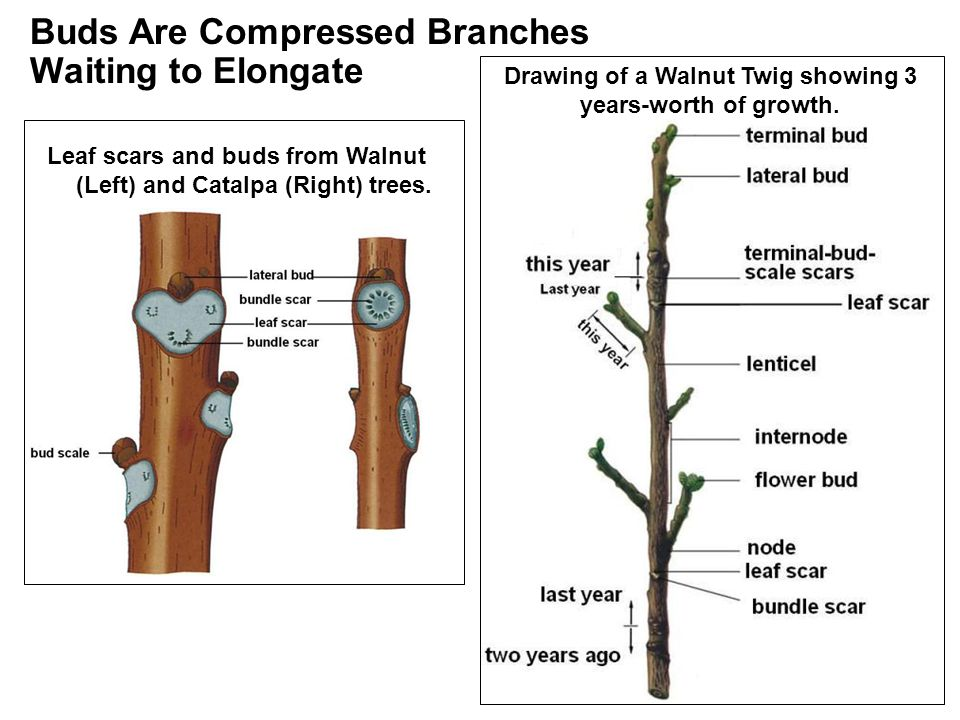 Buds Are Compressed Branches Waiting to Elongate