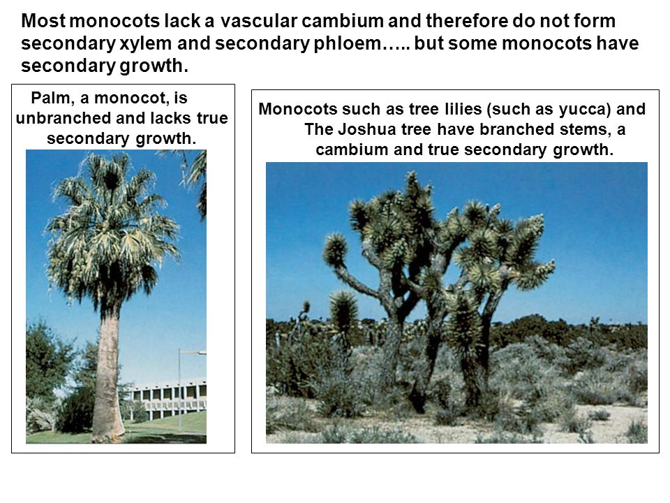 Palm, a monocot, is unbranched and lacks true secondary growth.