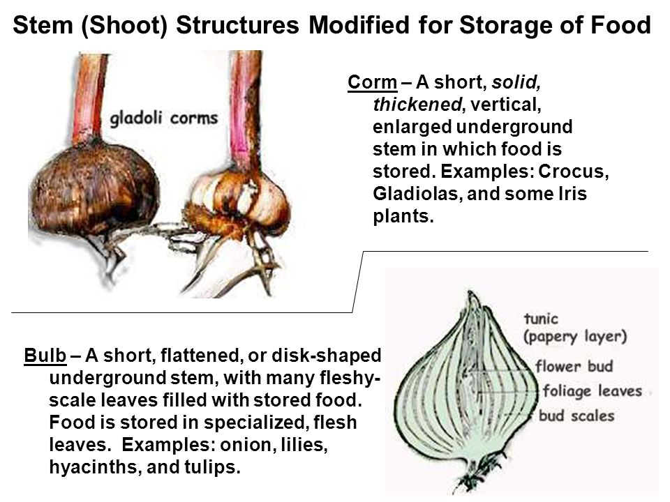 Stem (Shoot) Structures Modified for Storage of Food