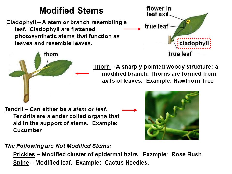 Modified Stems