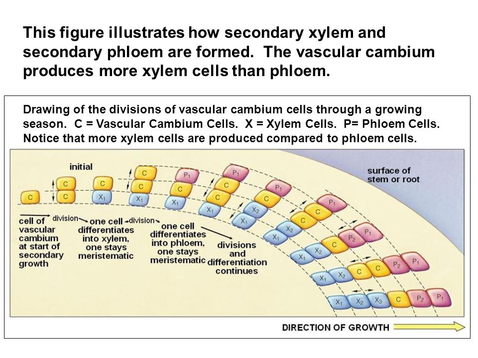 This figure illustrates how secondary xylem and secondary phloem are formed. The vascular cambium produces more xylem cells than phloem.