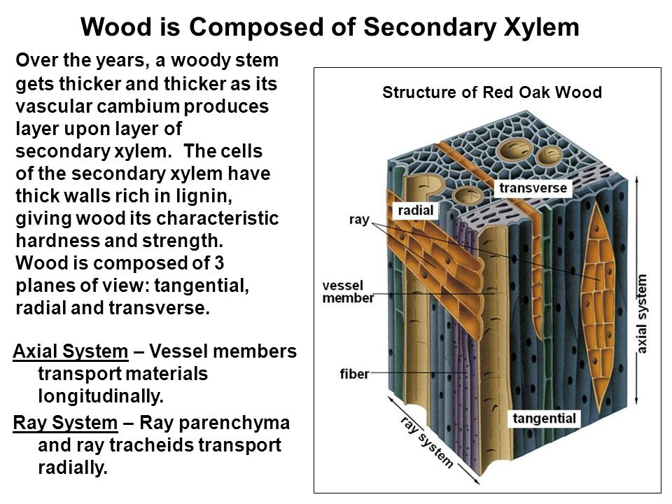 Wood is Composed of Secondary Xylem