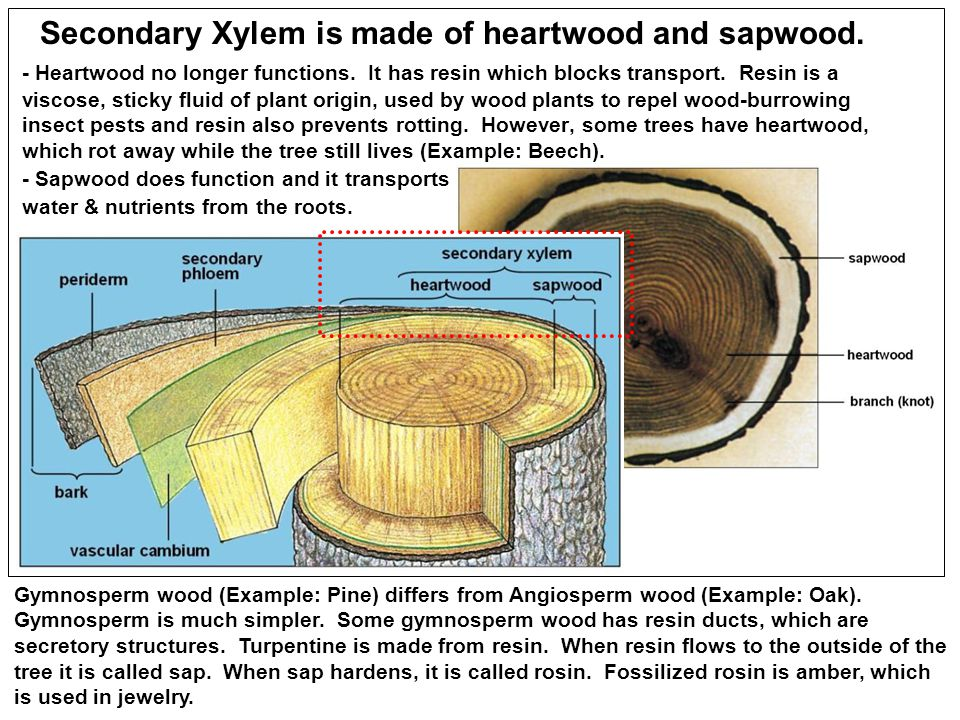 Secondary Xylem is made of heartwood and sapwood.