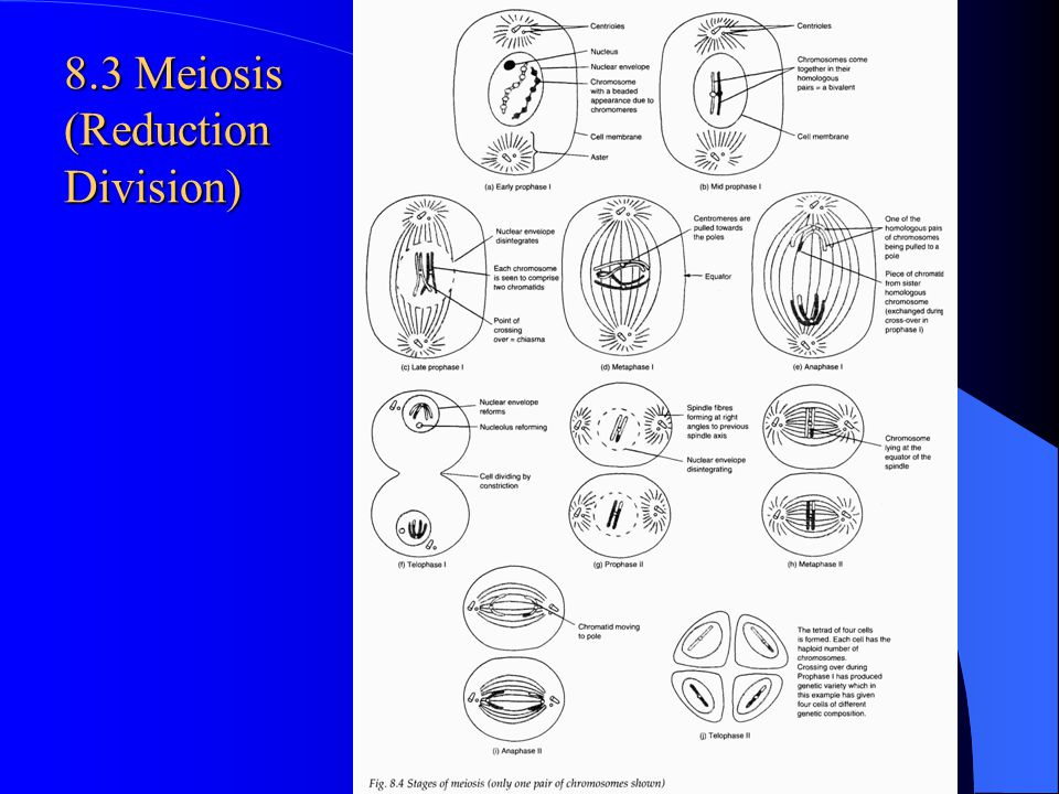 8.3 Meiosis (Reduction Division)