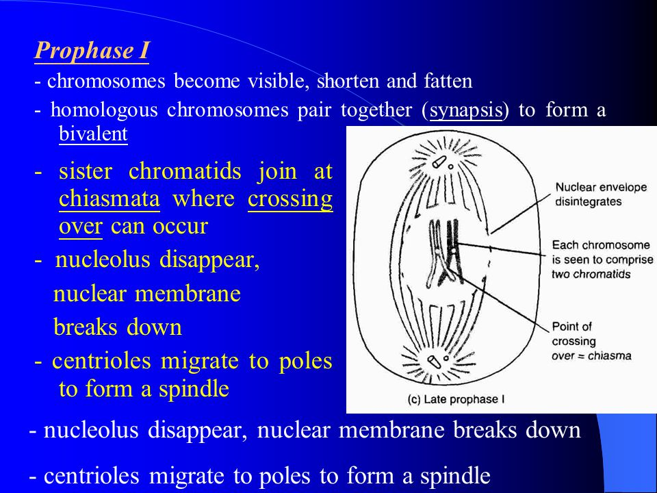 - sister chromatids join at chiasmata where crossing over can occur