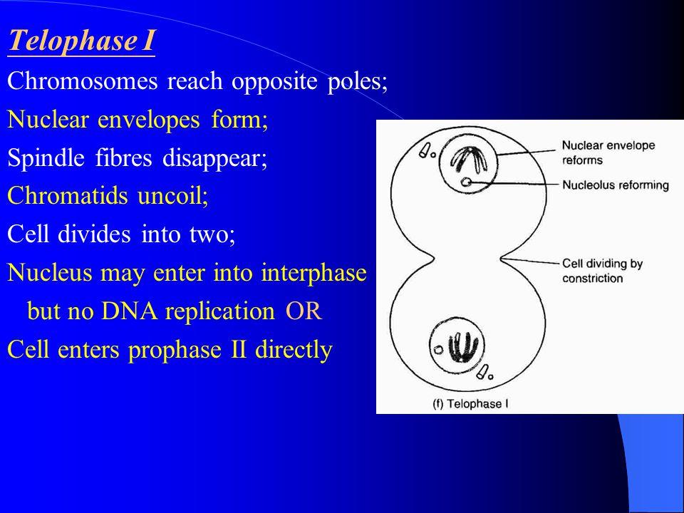 Telophase I Chromosomes reach opposite poles; Nuclear envelopes form;