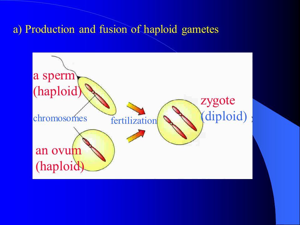 a sperm (haploid) zygote (diploid) an ovum (haploid)