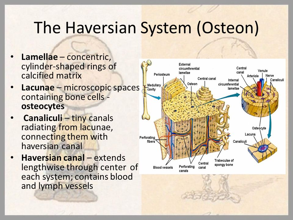 The Haversian System (Osteon)