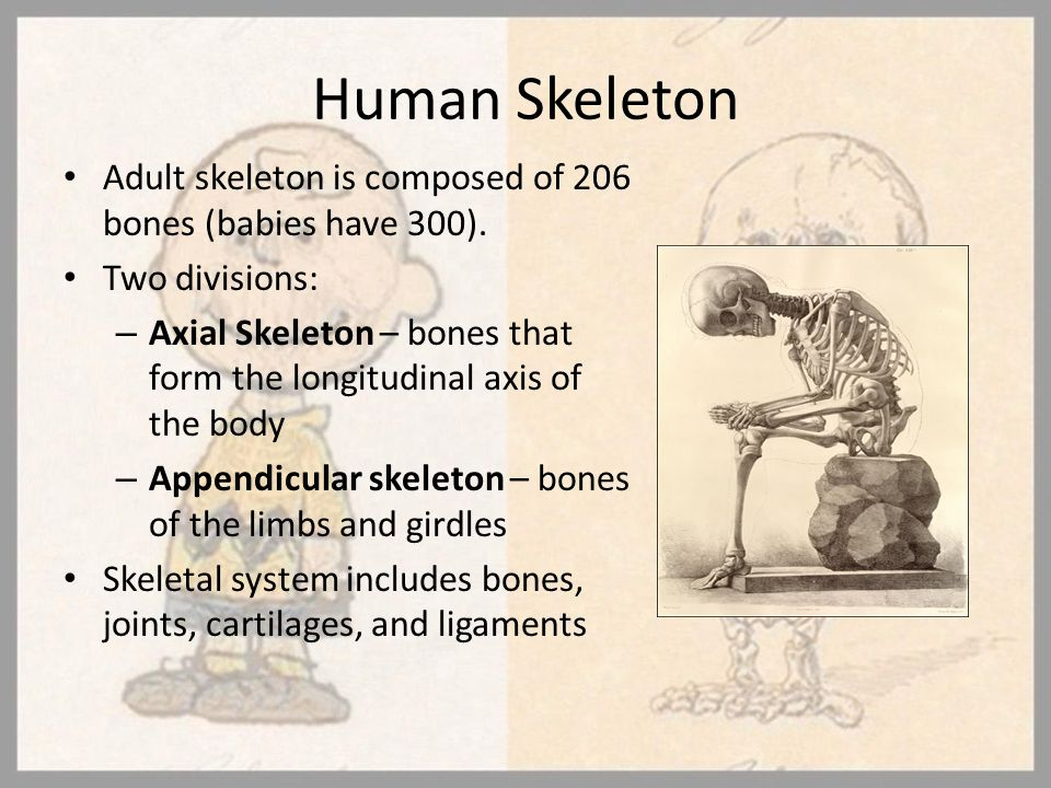 Human Skeleton Adult skeleton is composed of 206 bones (babies have 300). Two divisions: