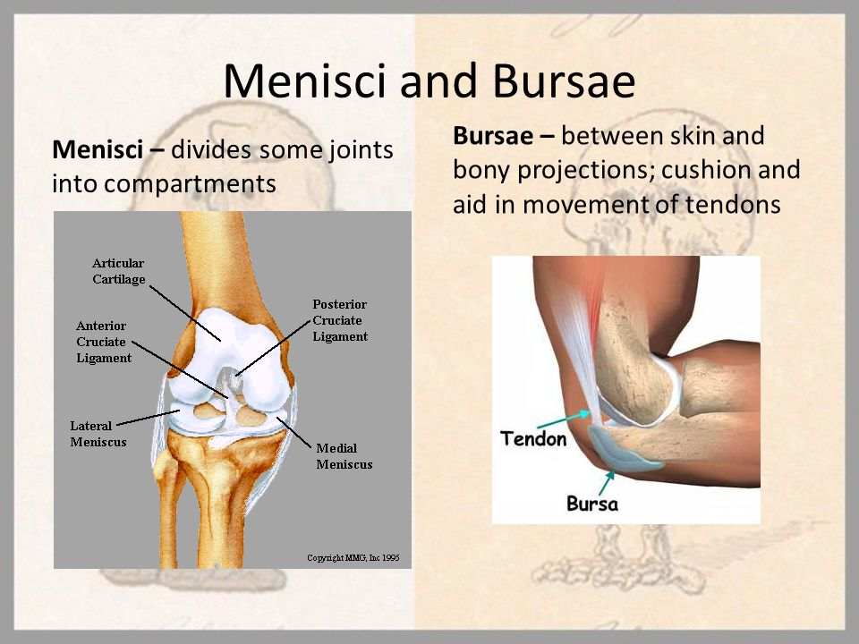 Menisci and Bursae Menisci – divides some joints into compartments