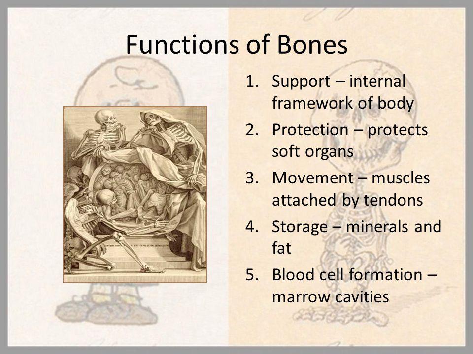 Functions of Bones Support – internal framework of body