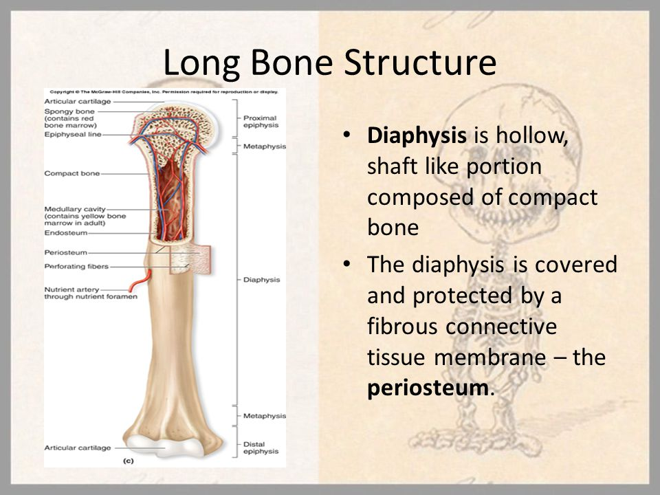 Long Bone Structure Diaphysis is hollow, shaft like portion composed of compact bone.