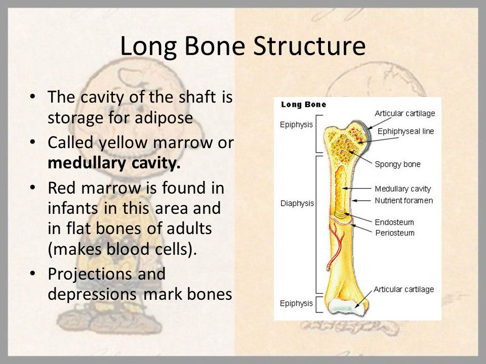 Long Bone Structure The cavity of the shaft is storage for adipose