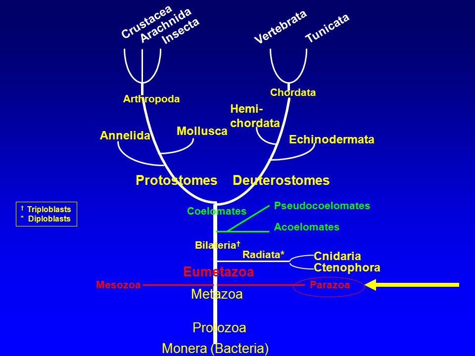 Protostomes Deuterostomes Eumetazoa Metazoa Protozoa Monera (Bacteria)