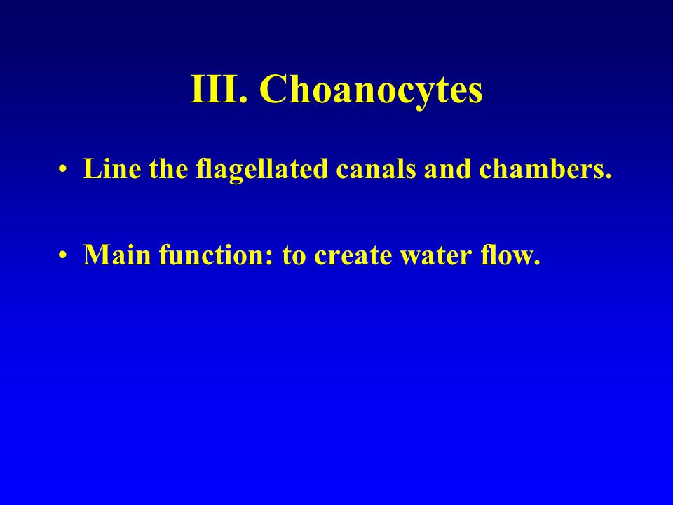 III. Choanocytes Line the flagellated canals and chambers.