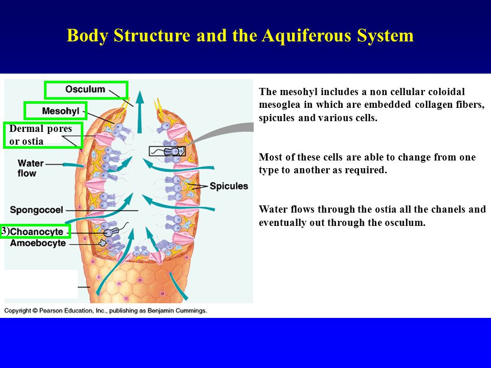 Body Structure and the Aquiferous System