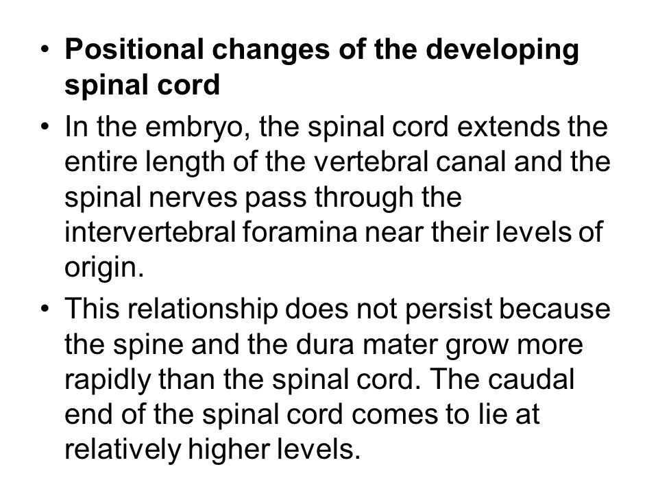 Positional changes of the developing spinal cord