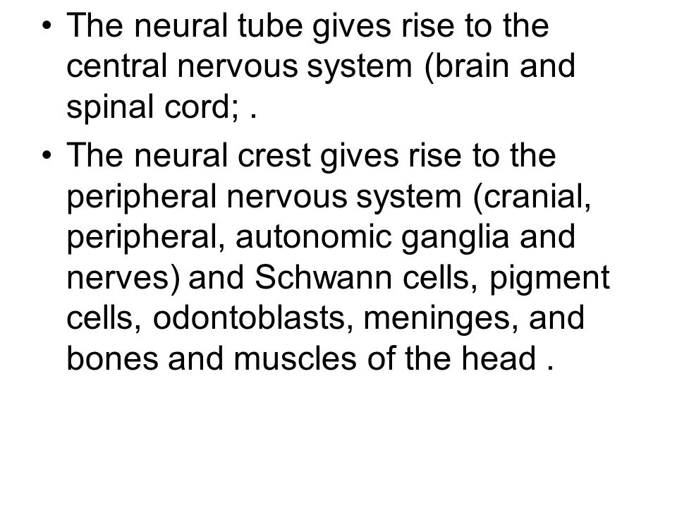 The neural tube gives rise to the central nervous system (brain and spinal cord; .