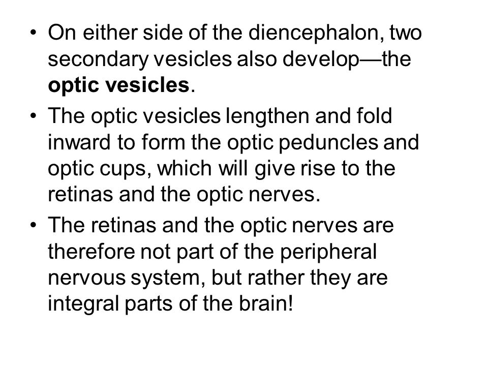 On either side of the diencephalon, two secondary vesicles also develop—the optic vesicles.