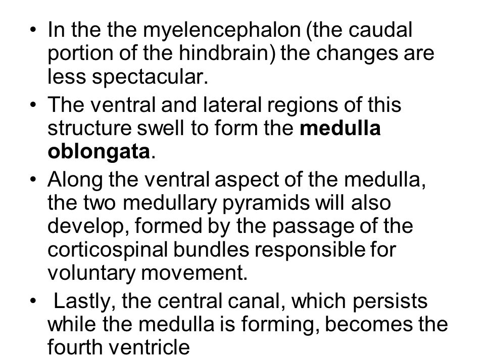 In the the myelencephalon (the caudal portion of the hindbrain) the changes are less spectacular.