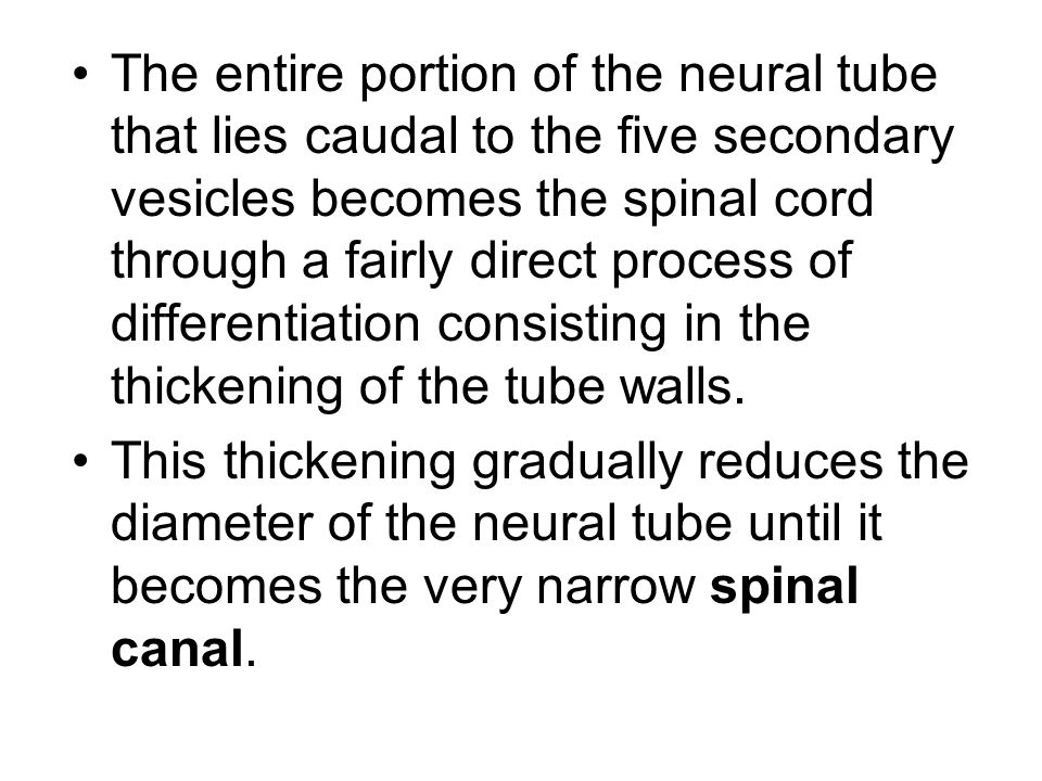 The entire portion of the neural tube that lies caudal to the five secondary vesicles becomes the spinal cord through a fairly direct process of differentiation consisting in the thickening of the tube walls.
