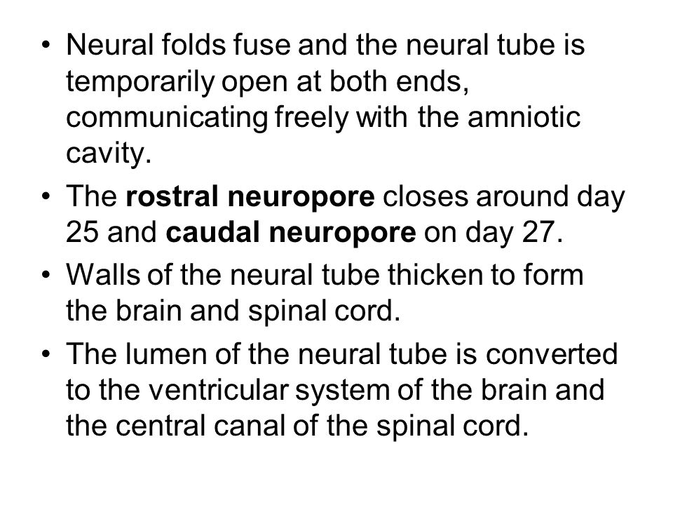 Neural folds fuse and the neural tube is temporarily open at both ends, communicating freely with the amniotic cavity.
