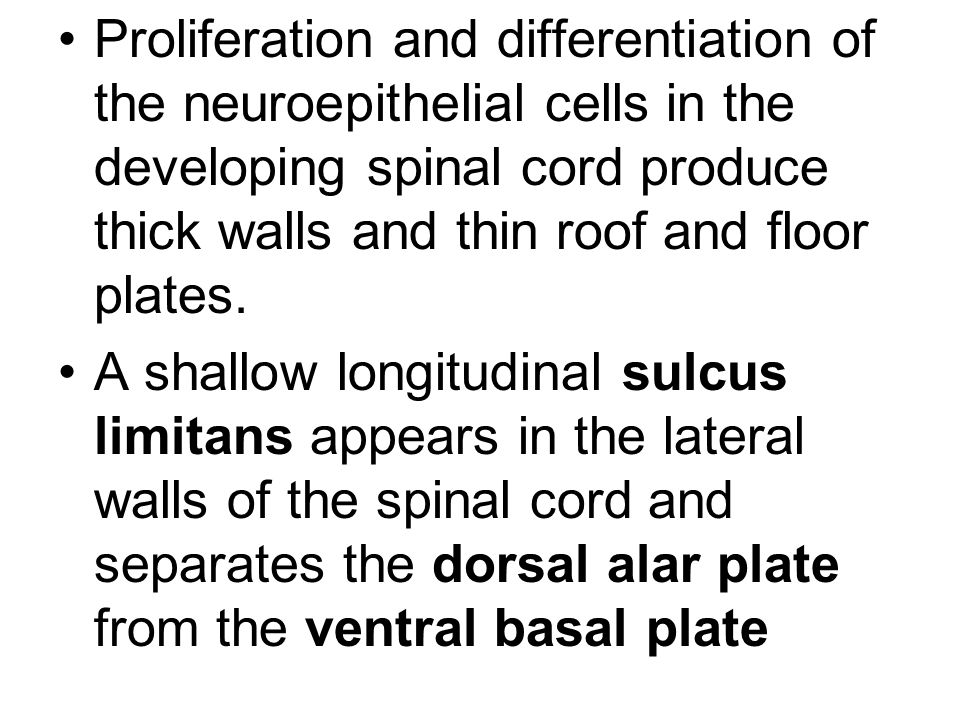 Proliferation and differentiation of the neuroepithelial cells in the developing spinal cord produce thick walls and thin roof and floor plates.