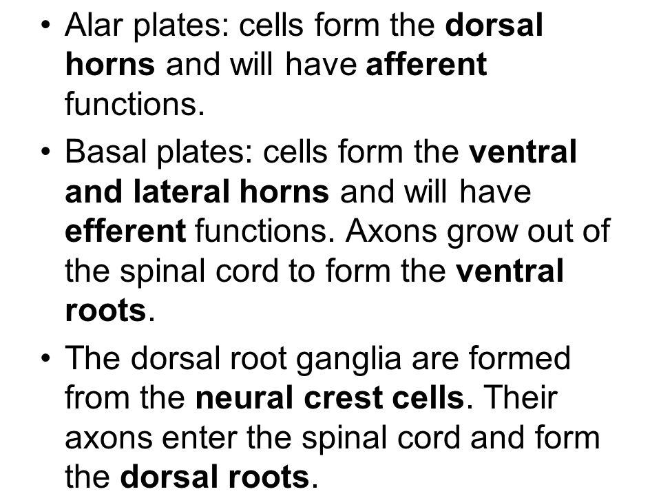 Alar plates: cells form the dorsal horns and will have afferent functions.