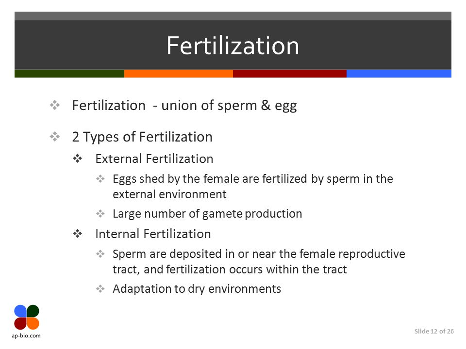 Fertilization Fertilization - union of sperm & egg