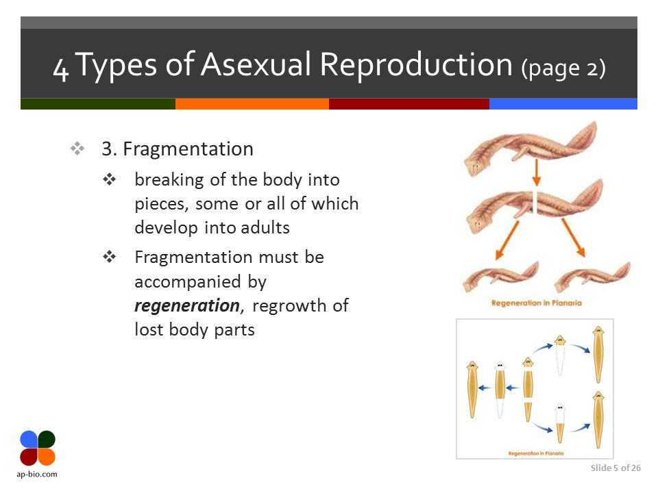 4 Types of Asexual Reproduction (page 2)