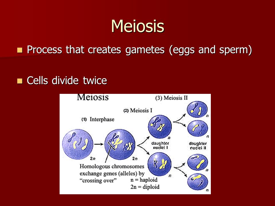 Meiosis Process that creates gametes (eggs and sperm)