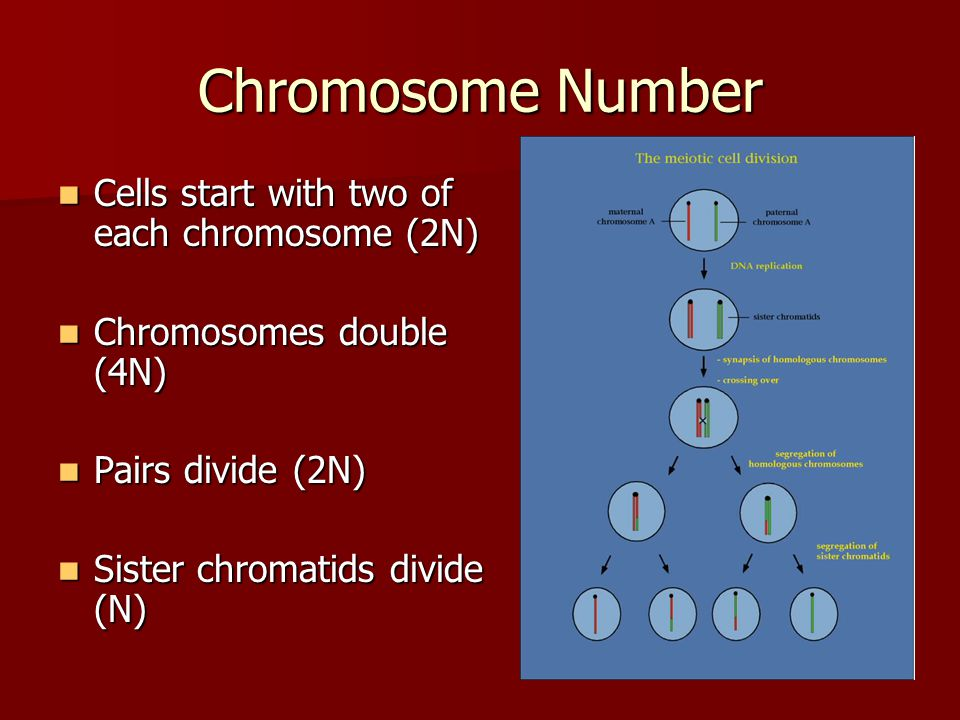 Chromosome Number Cells start with two of each chromosome (2N)